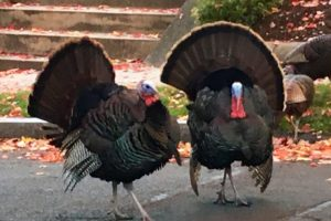 Wild Turkeys in Bosotn | PK Newby
